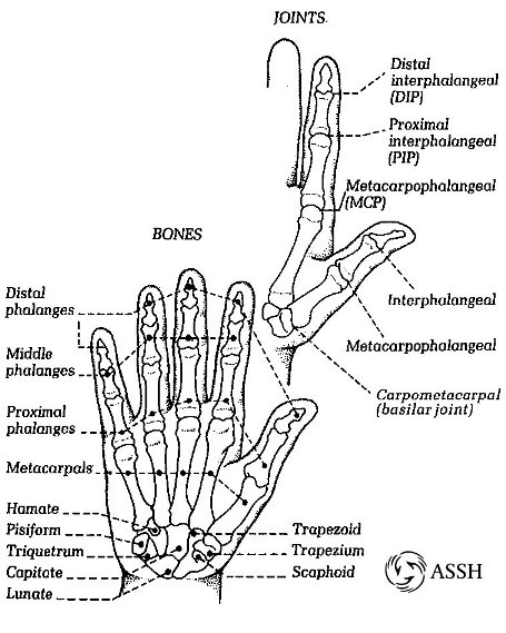 hand anatomy review